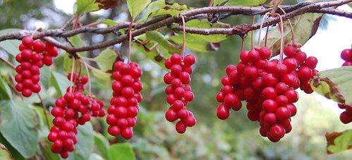 Schisandra-chinensis-planta