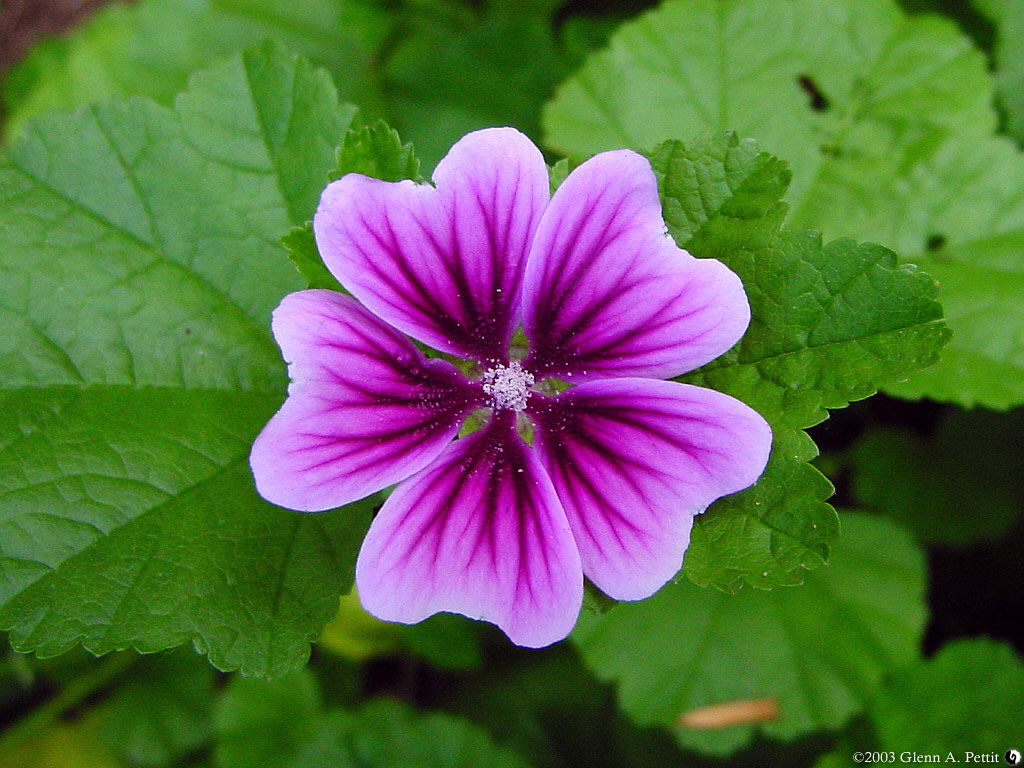 I seem to have been on a solo flower kick of late. This purple flower -- known as Malva Zebrina -- grabbed my eye with its intense color, almost as if a purple fire was consuming the pale petals. Another flower mandala. Enjoy.
